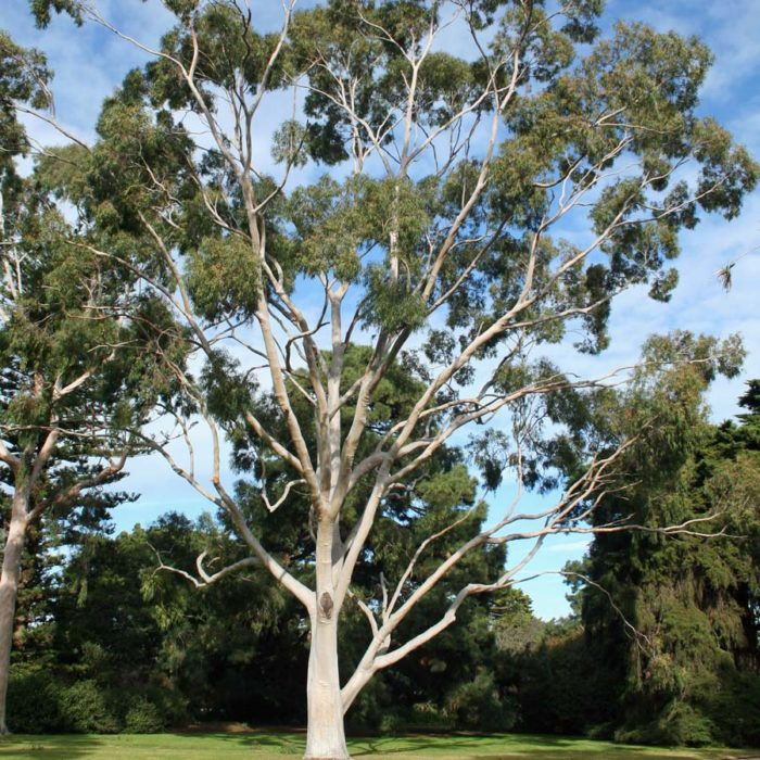safeda tree farming