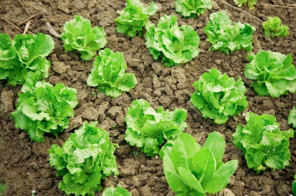विदेशी सब्जी की खेती