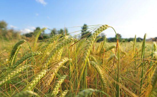जौ barley