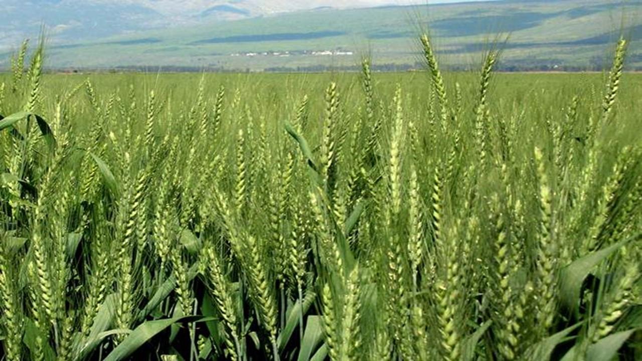 wheat,gehun