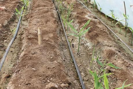 अदरक (Ginger Farming) की खेती से प्रति एकड़ 4 लाख की उपज कमाई 2.5 लाख