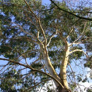 Safeda Tree सफेदे की खेती और कीमत