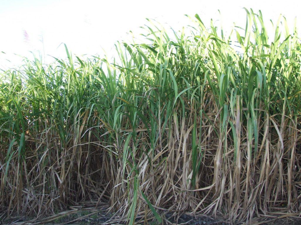 sugarcane इस तरीके से करे गन्ने की बिजाई होगी ज्यादा कमाई