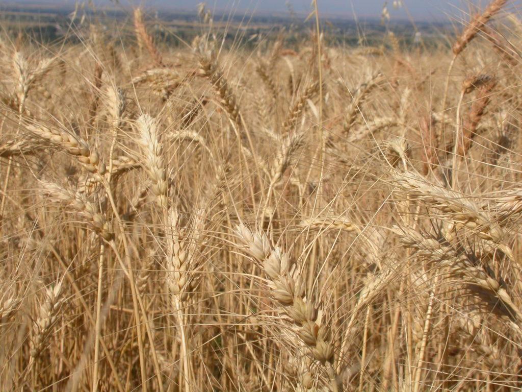 गेहूं की wheat