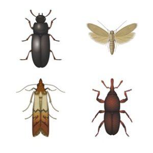 अनाज के कीड़े
