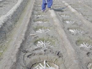 Sugarcane Sowing method गन्ना बिजाई का तरीका