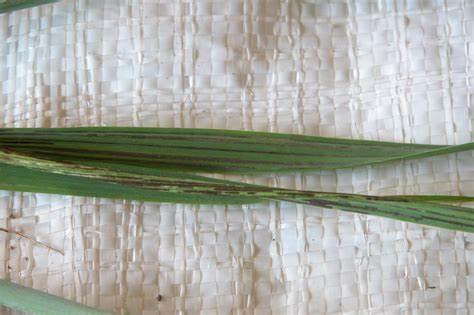 leaf rust गेहूँ खेती की समग्र सिफारिशे wheat package practices in Hindi
