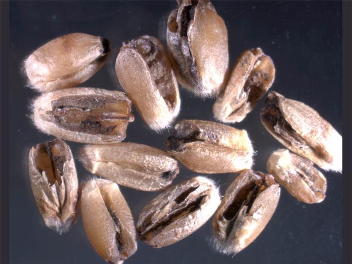 karnal bunt गेहूँ खेती की समग्र सिफारिशे wheat package practices in Hindi