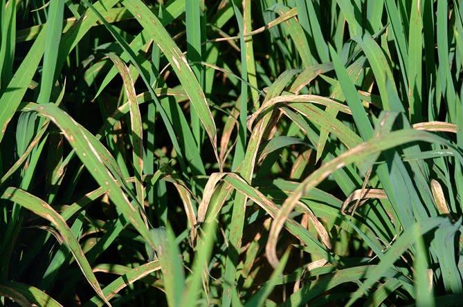 leaf blast wheat गेहूँ खेती की समग्र सिफारिशे wheat package practices in Hindi