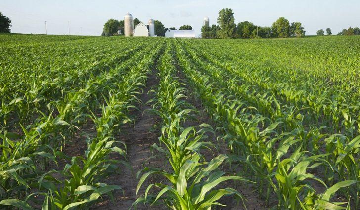 मक्की खेती Maize corn crop package practices