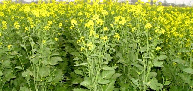 सरसों राया तोरिया उन्नत किस्मे  Mustard Raya Toria Farming Package Practices