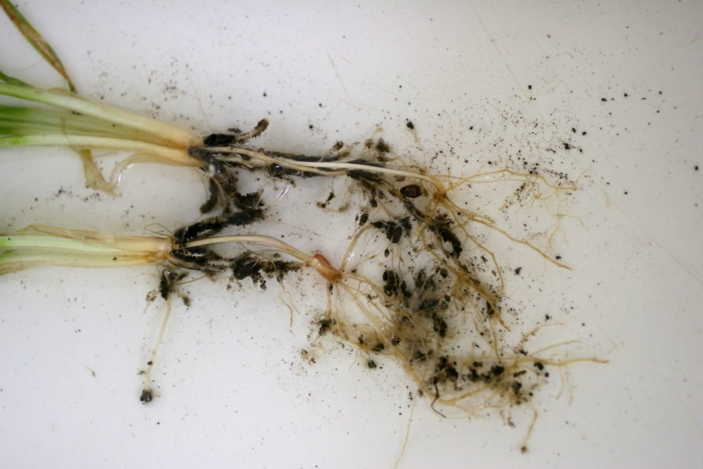 nematodes गेहूँ खेती की समग्र सिफारिशे wheat package practices in Hindi