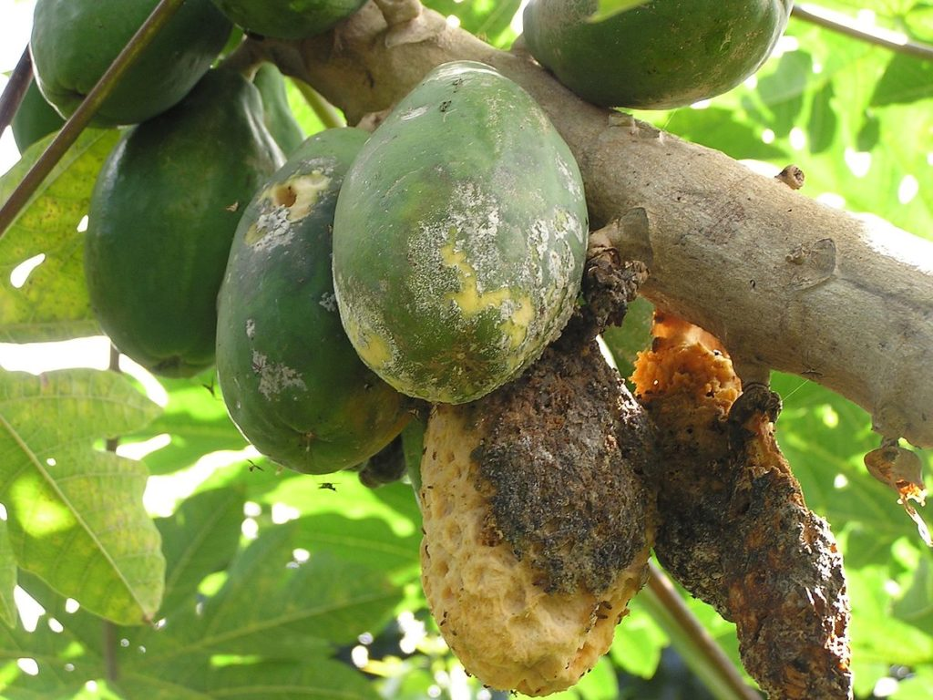 Papaya Tree Farming In Hindi पपीता की खेती, रोग व समाधान