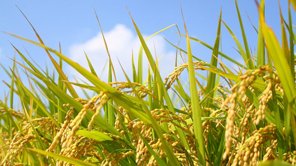 चावल/जीरी बाजरा की नई किस्मे 2020 PR128 PR129 PCB165