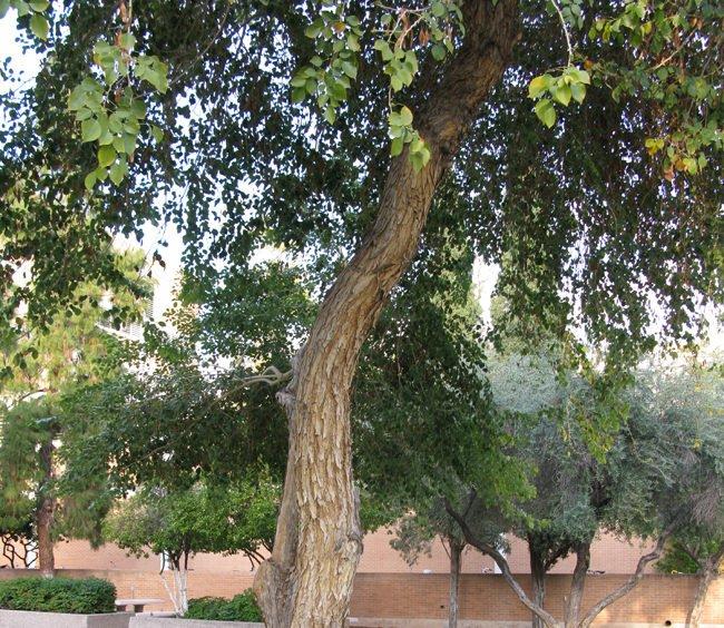 शीशम को सूखने से कैसे बचाएं shisham tree