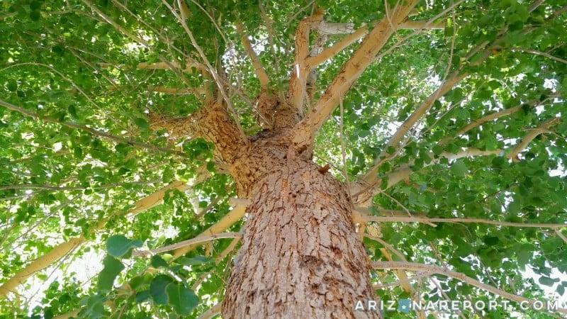 shisham tree