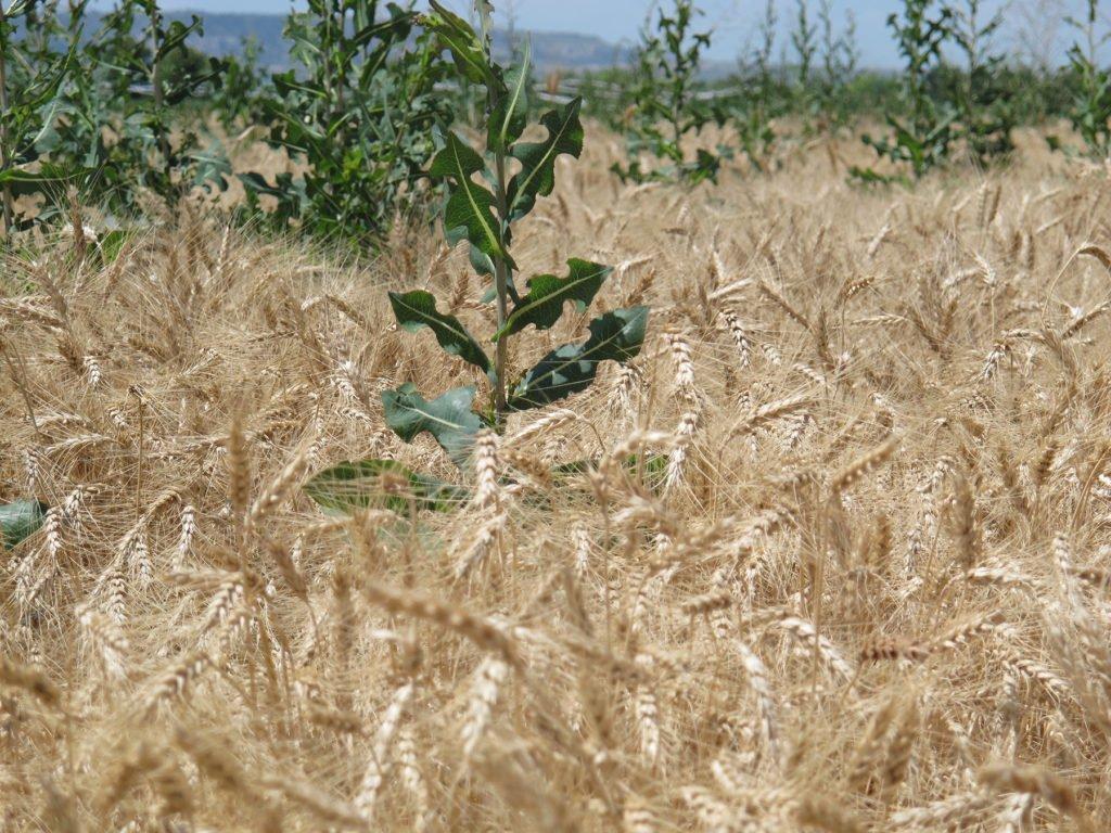 weeds in wheat  गेहूँ खेती की समग्र सिफारिशे wheat package practices in Hindi