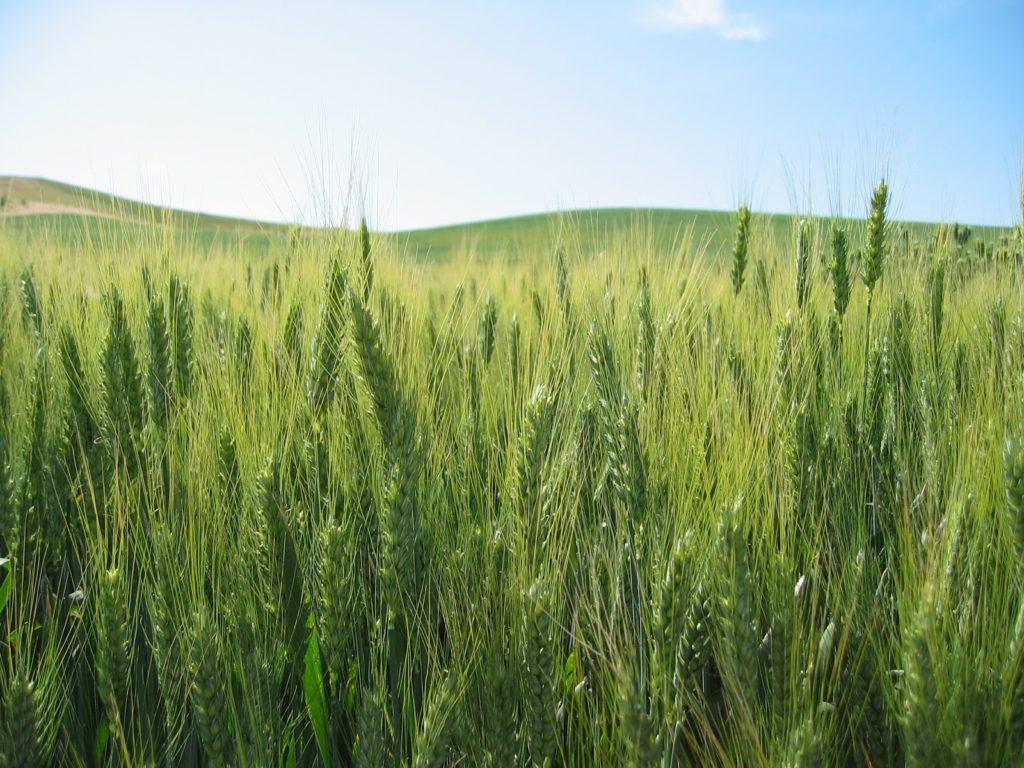 गेहूँ खेती की समग्र सिफारिशे wheat package practices in Hindi
