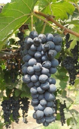 grapes new variety