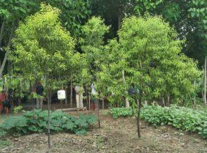 chandan tree farming