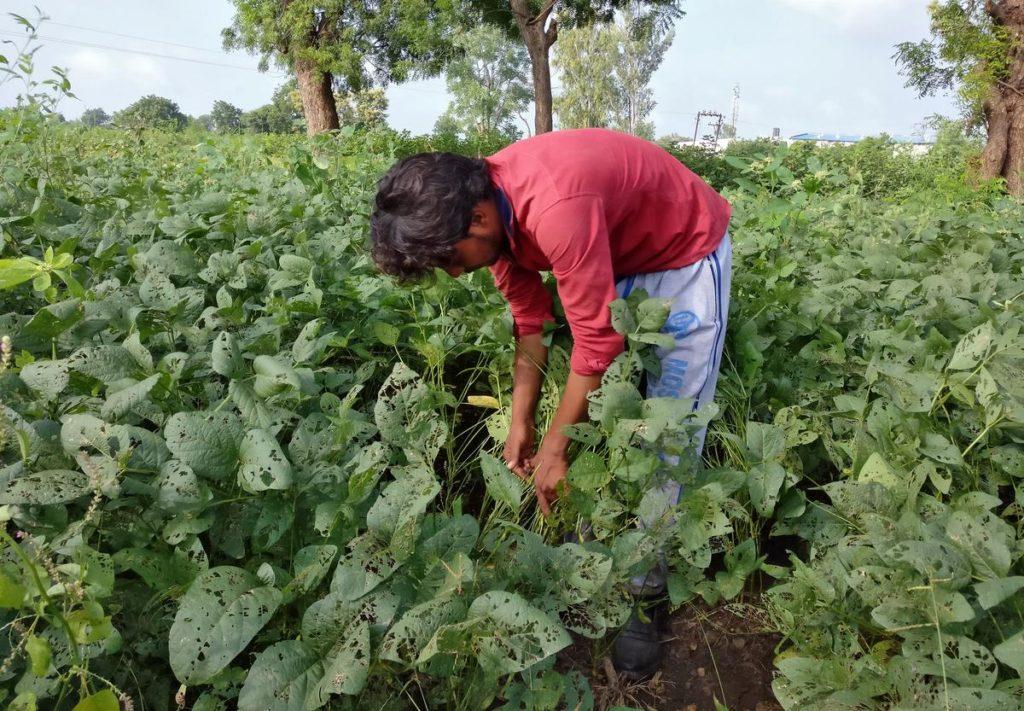 सोयाबीन खेती-पैदावार, किस्मे व् रोग उपचार Soybean Package And Practices In Hindi
