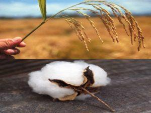 किसानो को दिया जाएगा इंसेंटिव धान की बजाये लगानी होगी ये फसल cotton bajra maize seed