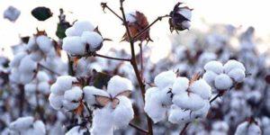 Cotton Variety कपास की ज्यादा पैदावार देने की क्षमता वाली अच्छी किस्मे