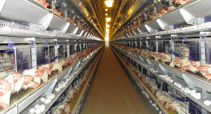 मुर्गी पालन प्रोजेक्ट पॉल्ट्री उत्पादन लाभ रोग उपचार Layer Broiler Poultry Farming