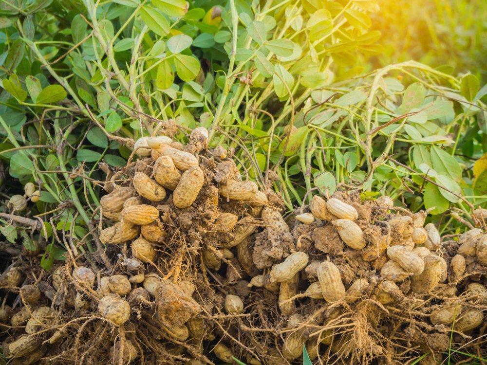 मूंगफली/Groundnut की ज्यादा पैदावार के लिए ऐसे करे खेती - Peanut Farming