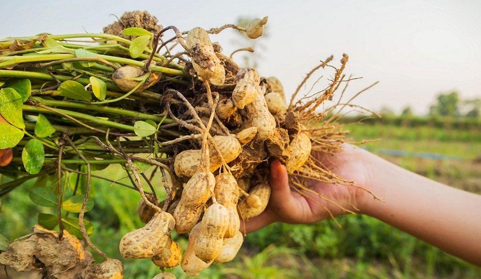 oleic मूंगफली groundnut/peanut/mungfali