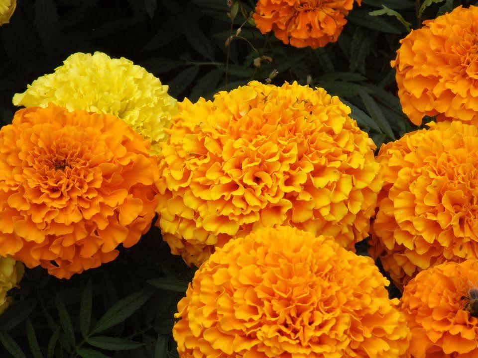 marigold genda flower