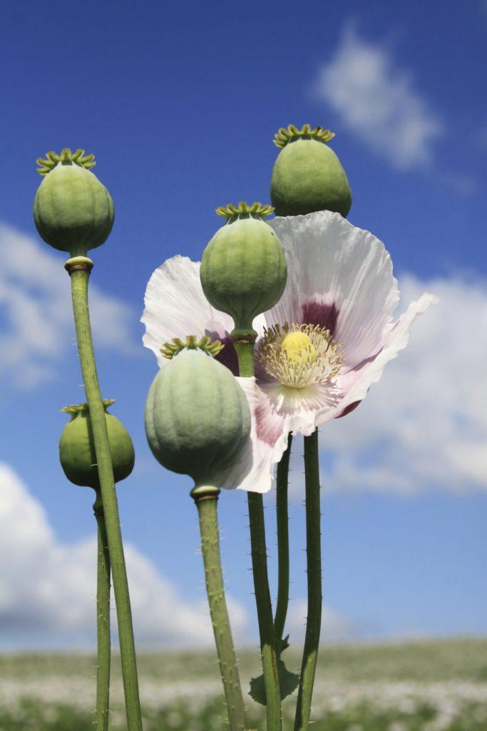 अफीम/खसखस/पोस्त की खेती अच्छी किस्मे पैदावार - Opium Poppy Farming Hindi