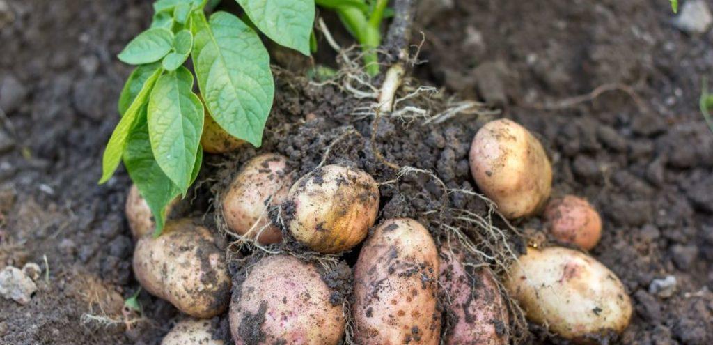 आलू की खेती (Potato Farming) उन्नत किस्मे व् खाने से फायदा ! आलू चिप्स वाली किस्मे और बनाने का तरीका